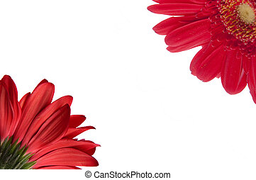 Red Gerbera Daisy Border