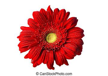 Red Gerbera Daisy on White