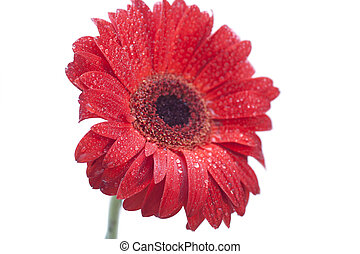 Red gerbera daisy with drops
