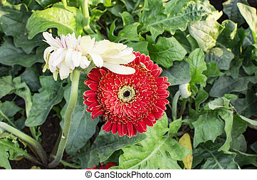 Red gerbera flower and green plants