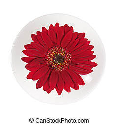 Red gerbera flower in cup and saucer isolated on white background. Closeup.