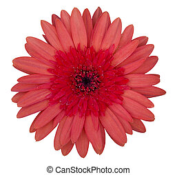 red gerbera flower isolated on white with clipping path
