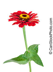 Red Gerbera flower with leaves on white background