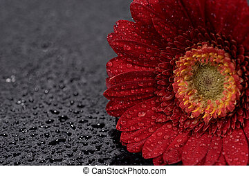 Red gerbera flower with water droplets isolated on black