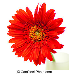 red gerbera isolated on white