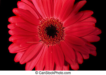 Red gerbera on black background close up
