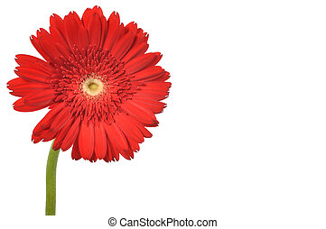 Red gerbera with clipping path