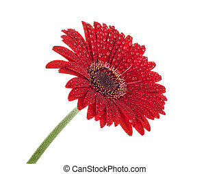 Red gerbera with water drops isolated on white background