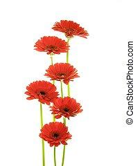 red gerberas - lose-up of red gerbera flowers against white ...