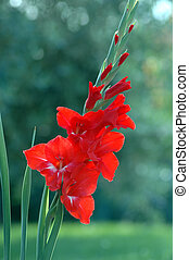 Red gladiolus isolated in a garden