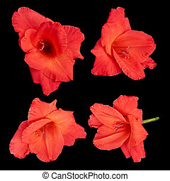 Red gladiolus flowers on a black background