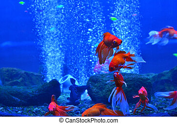 Red (golden) fish in a deep aquarium among stones