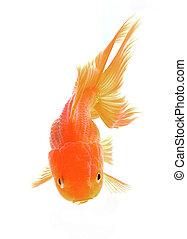 Red Goldfish Isolated on White Background