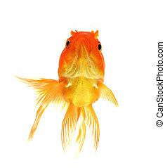 Red Goldfish on White Background