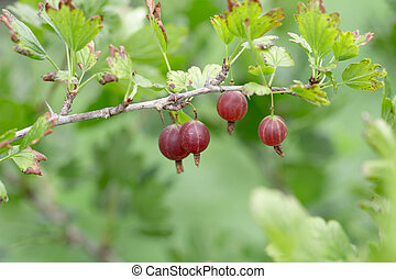 Red gooseberries on a bush in the garden