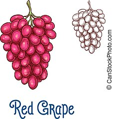 Red grape fruit isolated sketch for food design