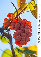 Red grape in the garden, harvest vinery, fruit. Kakheti.