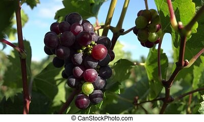 Red grape that have not matured - Close up of grape fruits...