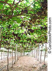 red grape vineyard rows