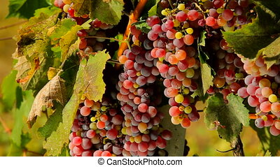 Red grapes - Bunches of black grapes grow on a vine branch.