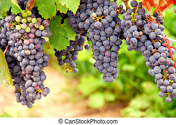 Red grapes - Bunches of red grapes growing on a vine