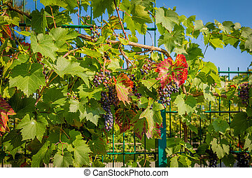 red grapes hang on a vine in the sunshine