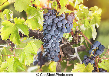 Red grapes hanging on the vine in t