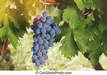 Red grapes hanging on the vine