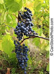 Red grapes in the autumn on a vine