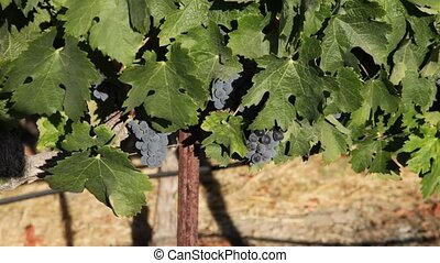 Red grapes on the vine - Close up of red grapes on the vine....