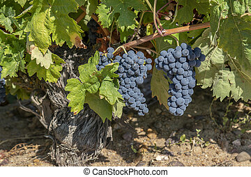 Red Grapes on the Vine in Toro, Zamora, Spain - Bunches of...