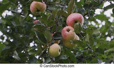 red-green, appel, weinig, appeltjes , tak, boompje, hangen