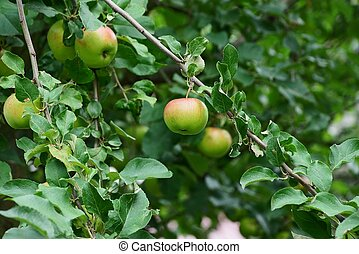 red green apple on a branch of a tree with leaves