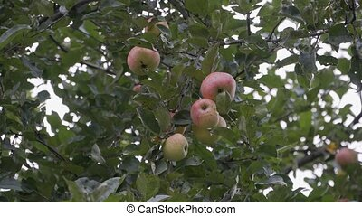 Red-green apples hang from the branch of an Apple tree, swaying in the wind