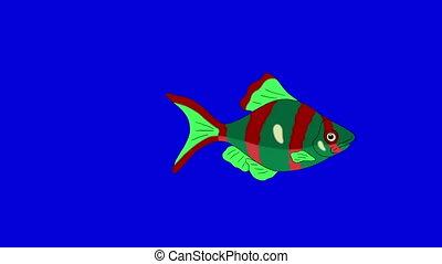 Red-green Aquarium Fish Chroma Key looped - Big Red-green...