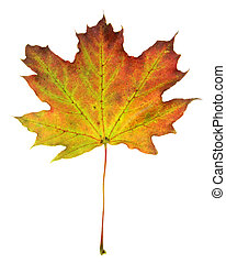 Red Green Maple Leaf