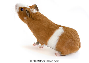 red guinea pig sniffing