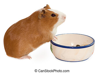 red guinea pig with bowl with food