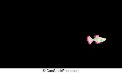 Red Guppy Aquarium Fish Swims Alpha Matte - Red Guppy...