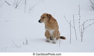 red-haired dog sitting on snow. a pet dog sits on the snow...