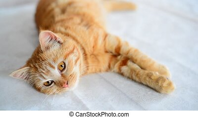 Red-haired five-month-old kitten with brown eyes lies on...