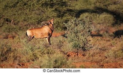 Red hartebeest antelope - A red hartebeest antelope...