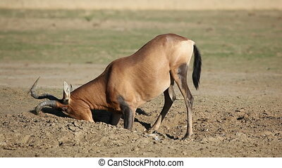 Red hartebeest antelope playing