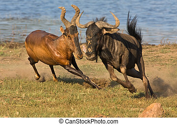 Red Hartebeest chasing Wildebeast - Red Hartebeest chasing a...
