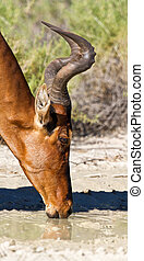 Red Hartebeest drinking water