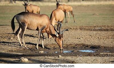 Red hartebeest drinking water - Red hartebeest (Alcelaphus...