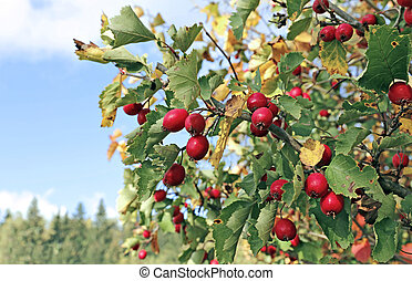 Red hawthorn berries on the branches in the autumn