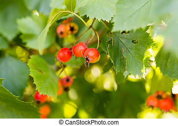 red hawthorn on a tree branch in the garden
