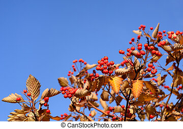 Red hawthorn on blue sky background