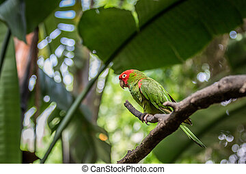 Red headed conure on a branch.